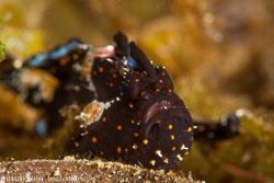 BD-140323-Dumaguete-3228-Antennarius-pictus-(Shaw.-1794)-[Painted-frogfish].jpg